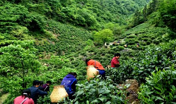 """绿茶相关加工技术标准发布 助推茶叶""""香飘天下"""""""